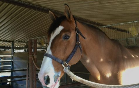 A gelding looks into the camera.